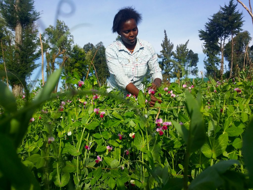 Consolata Njeri in her peas farm. She is expecting a bountiful harvest after planting quality seeds