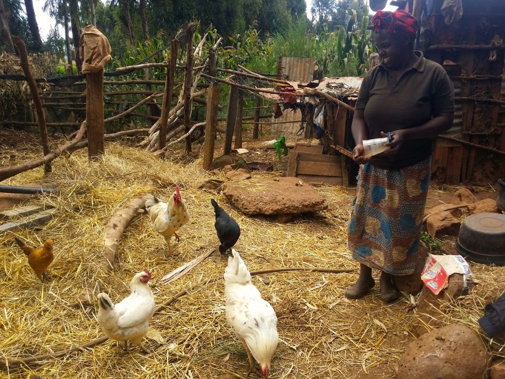 Purity Kamotho feeding some of her chicken at her homestead which she bought with table banking loan.